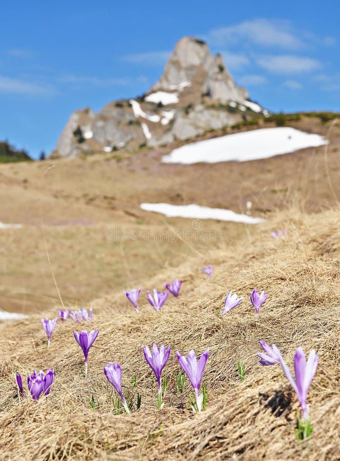 Azafrán en las montañas de Ciucas fotografía de archivo libre de regalías