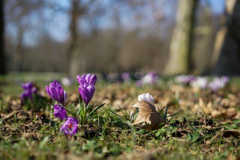 Azafrán púrpura fotografía de archivo libre de regalías