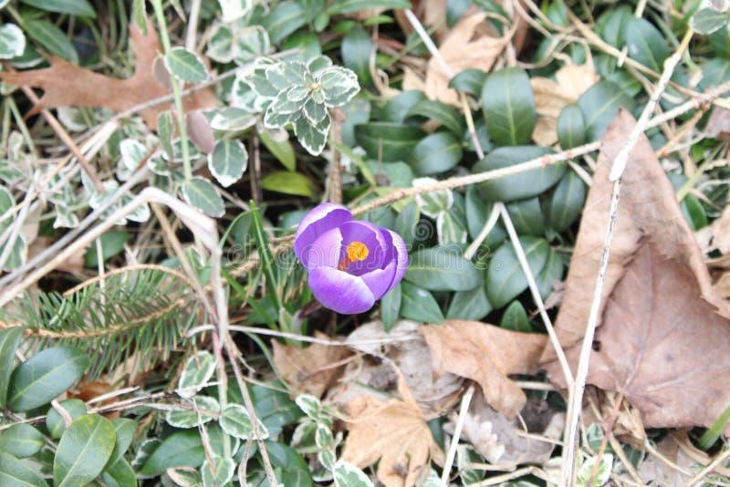 Azafrán púrpura de la primavera imagenes de archivo