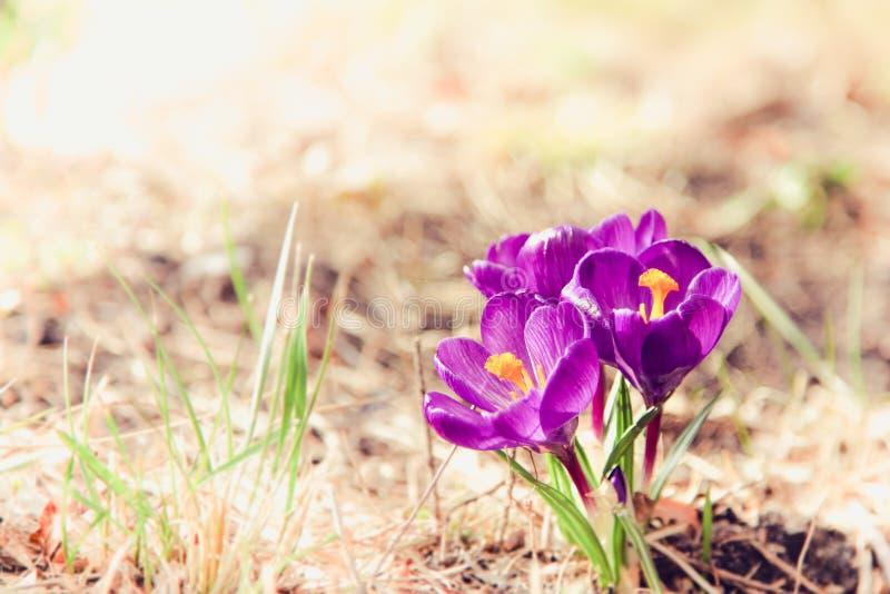 Azafrán púrpura de la primavera que florece durante día de primavera soleado temprano imágenes de archivo libres de regalías