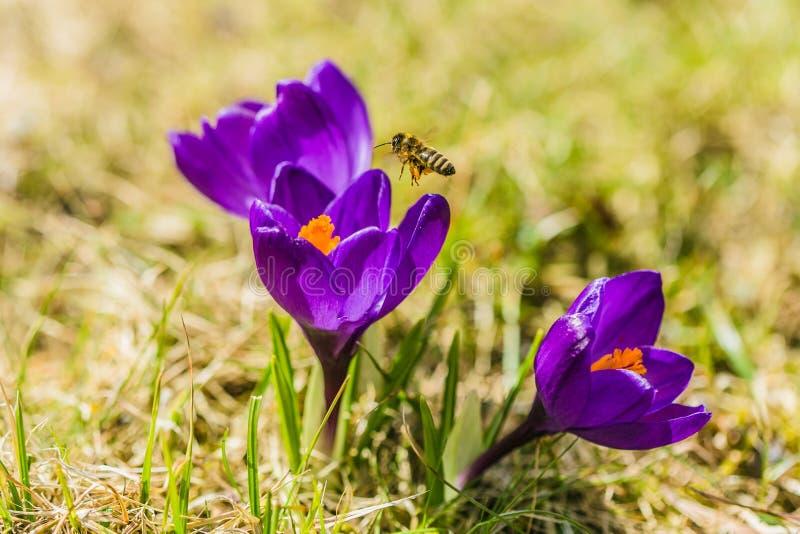 Azafrán púrpura fresca brillante hermosa, flor del azafrán fotografía de archivo