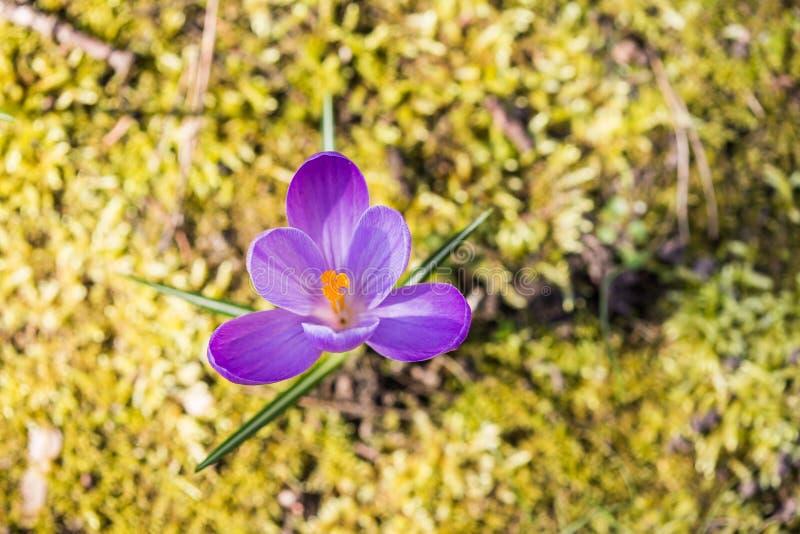 Azafrán púrpura que crece afuera entre musgo fotos de archivo