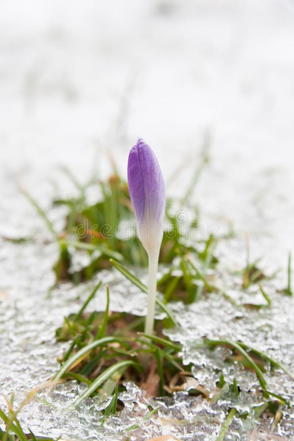 Azafrán púrpura que crece a través de nieve en primavera foto de archivo