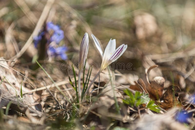 Azafrán salvaje en el bosque en un césped en una ladera en la primavera imagen de archivo libre de regalías
