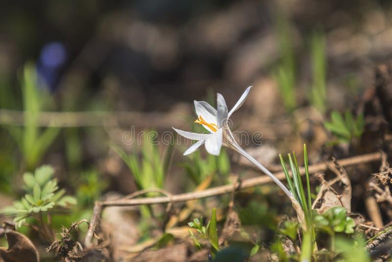 Azafrán salvaje en el bosque en un césped en una ladera en la primavera fotografía de archivo libre de regalías