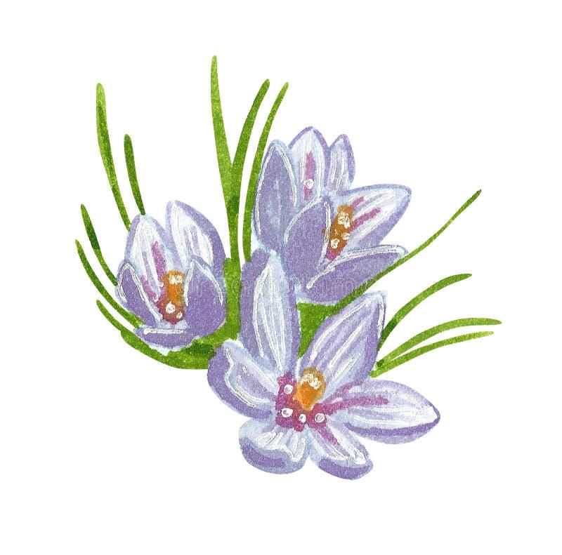 Azafrán salvaje púrpura con las hojas verdes largas, ejemplo exhausto de la acuarela de la mano libre illustration