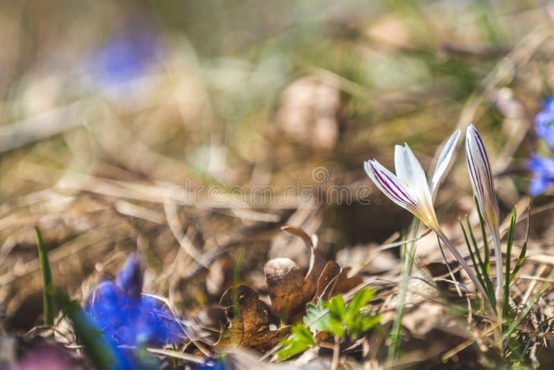 Azafrán salvaje rodeada por las perlas de la primavera fotos de archivo