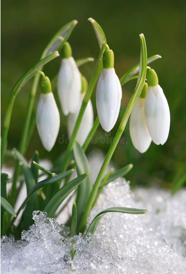 Azafrán-snowdrops imagenes de archivo