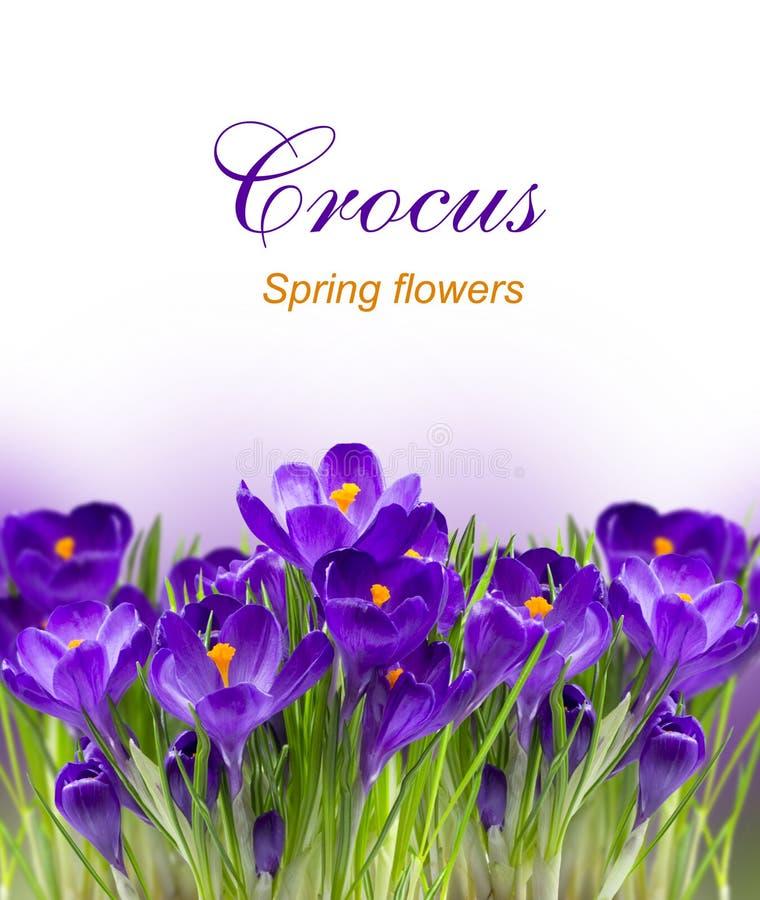 Azafrán temprana de la flor de la primavera para Pascua imagenes de archivo