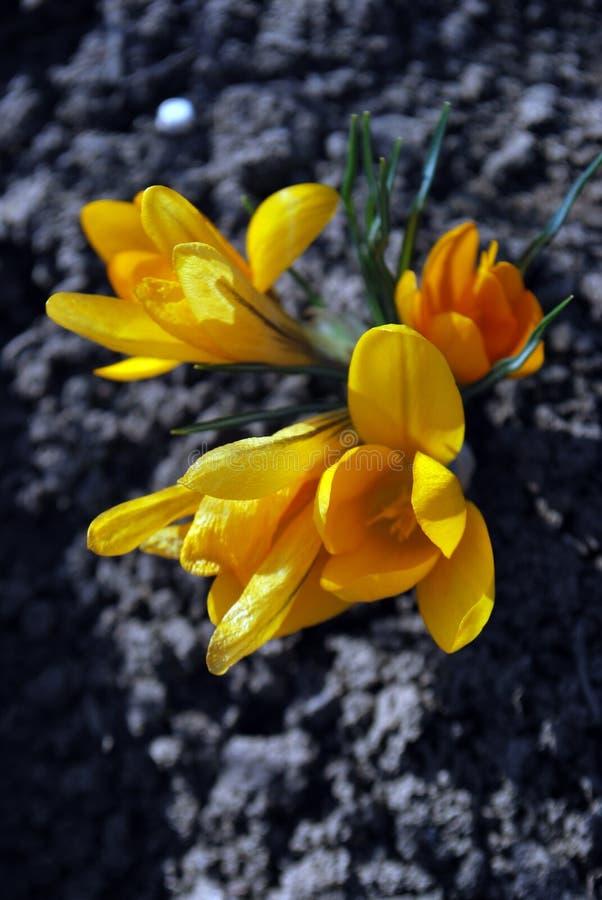Azafranes amarillas imagen de archivo libre de regalías