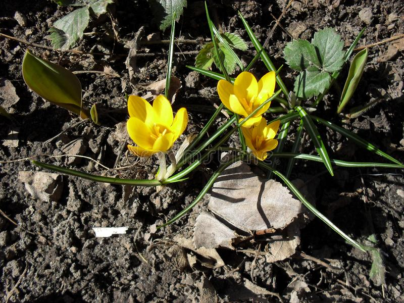 Azafranes amarillas fotos de archivo