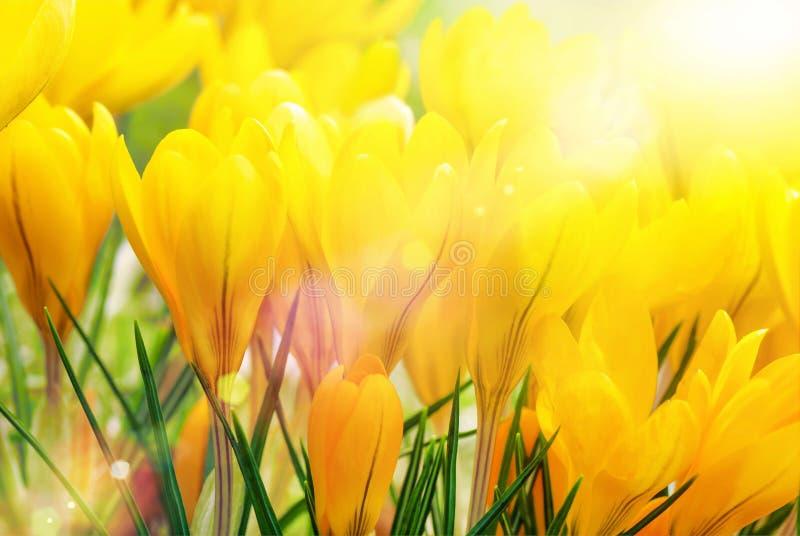 Azafranes amarillas en luz del sol hermosa imagen de archivo