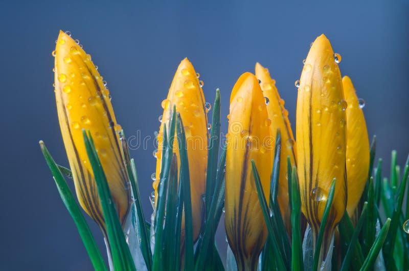 Azafranes amarillas en un cierre azul del fondo para arriba imagenes de archivo