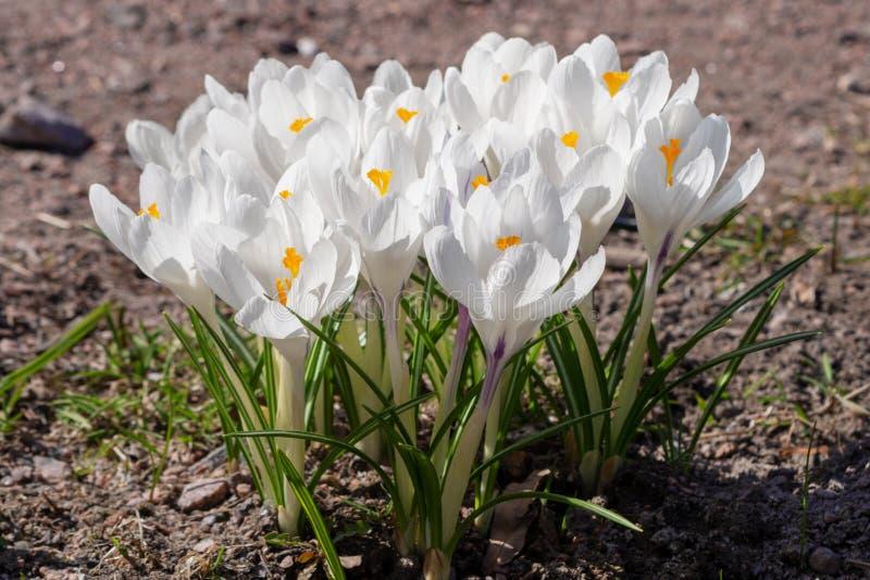 Azafranes blancas que crecen en la tierra en primavera temprana imagen de archivo