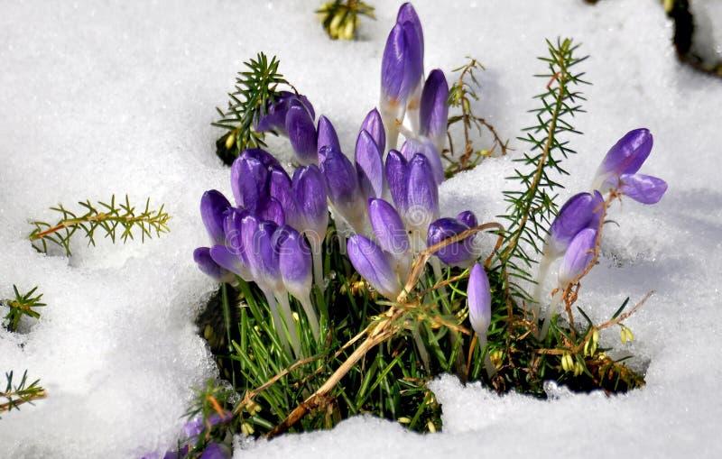 Azafranes del resorte en la nieve imagenes de archivo