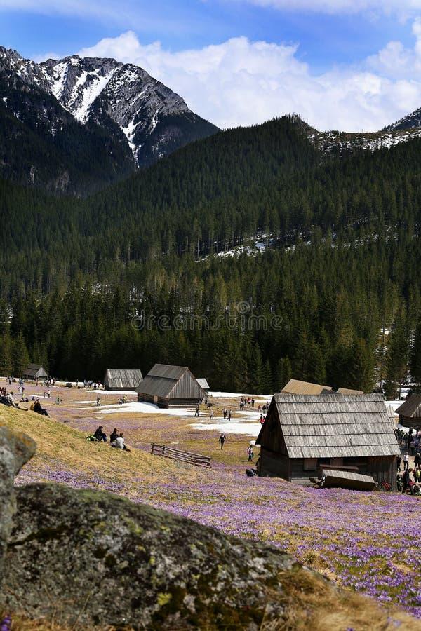 Azafranes en el valle de Chocholowska foto de archivo