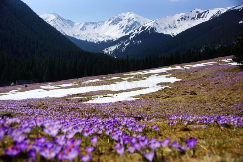 Azafranes en el valle de Chocholowska, montaña de Tatras, Polonia fotografía de archivo