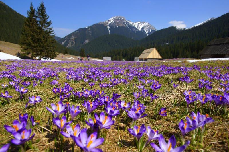 Azafranes en el valle de Chocholowska, montaña de Tatras, Polonia imagen de archivo