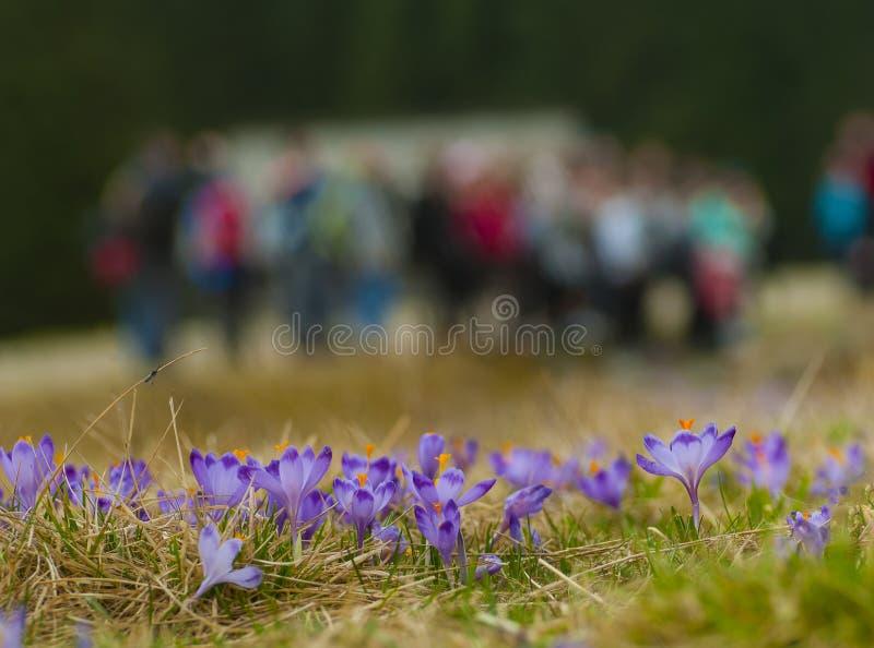 Azafranes en el valle de Chocholowska, montaña de Tatras, Polonia foto de archivo