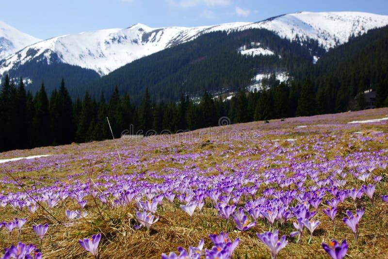 Azafranes en el valle de Chocholowska, montañas de Tatra, Polonia foto de archivo