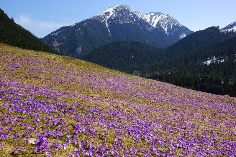 Azafranes en el valle de Chocholowska, montañas de Tatra, Polonia fotos de archivo