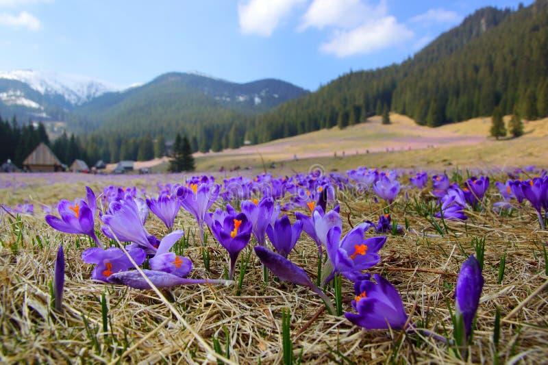Azafranes en el valle de Chocholowska, montañas de Tatra, Polonia imagen de archivo