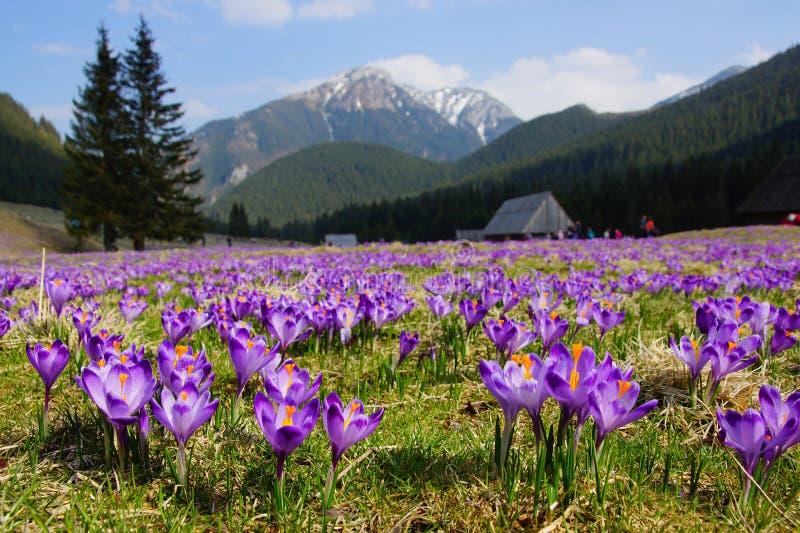 Azafranes en el valle de Chocholowska, montañas de Tatra, Polonia foto de archivo libre de regalías