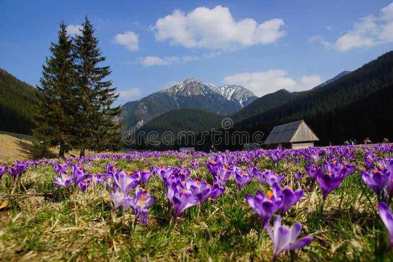 Azafranes en el valle de Chocholowska, montañas de Tatra, Polonia imagenes de archivo