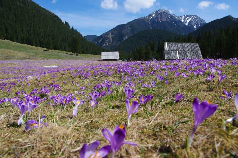 Azafranes en el valle de Chocholowska, montañas de Tatra, Polonia imágenes de archivo libres de regalías