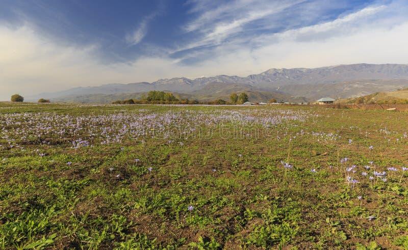 Azafranes florecientes del otoño Pirkuli azerbaijan imágenes de archivo libres de regalías