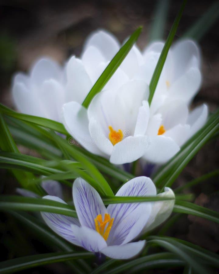 Azafranes hermosas de la primavera Flores blancas en el jard?n imagen de archivo