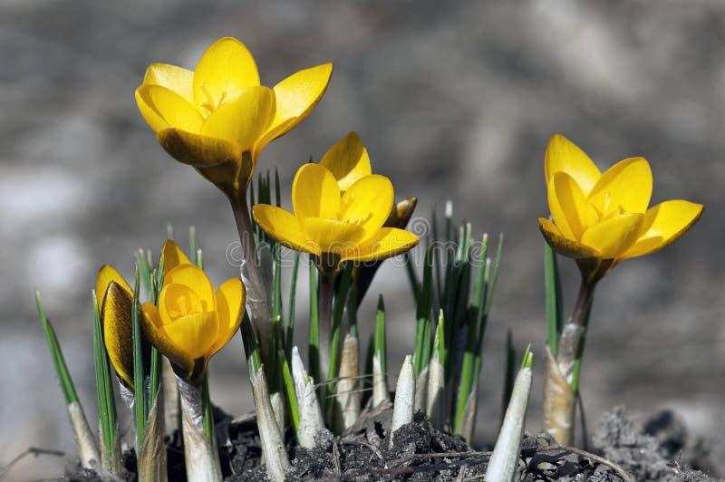 Azafranes tempranas del resorte - amarillo imagen de archivo libre de regalías