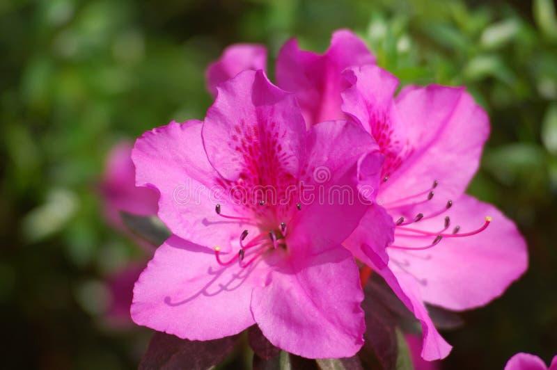 Download Azalée photo stock. Image du couleur, fleur, double, décorez - 728766
