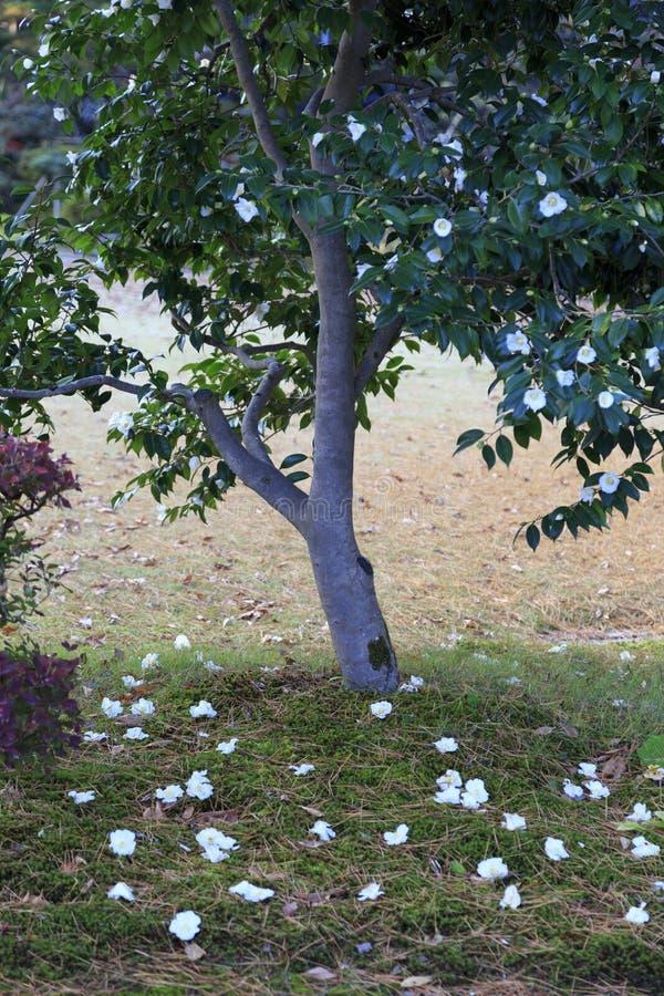 Azalée avec les fleurs blanches image stock