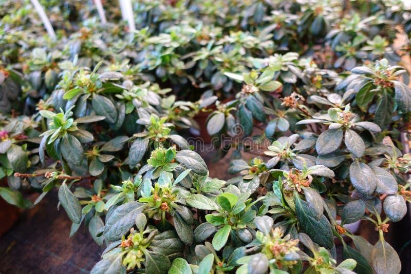Azalée indienne de simsii de rhododendron, azalée de Sims's, montagne Rose, pivoine de montagne image stock