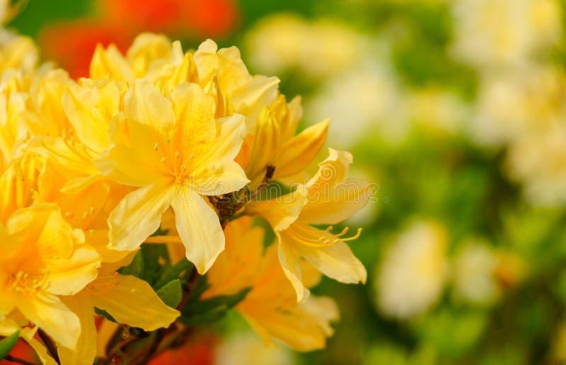 Azalée indienne de simsii de rhododendron, azalée de Simss, la rose agréablement sauvage photo stock
