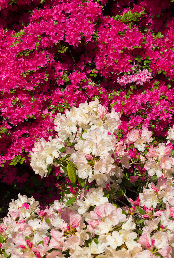 Azalée rose et rhododendron blanc images stock