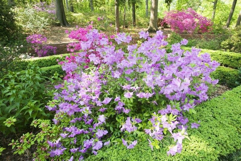 Azalées au printemps dans l'arborétum national, Washington D C photo libre de droits