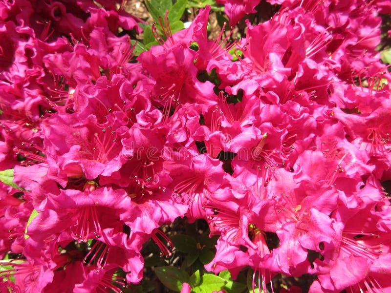 Azalées roses en pleine floraison photographie stock libre de droits