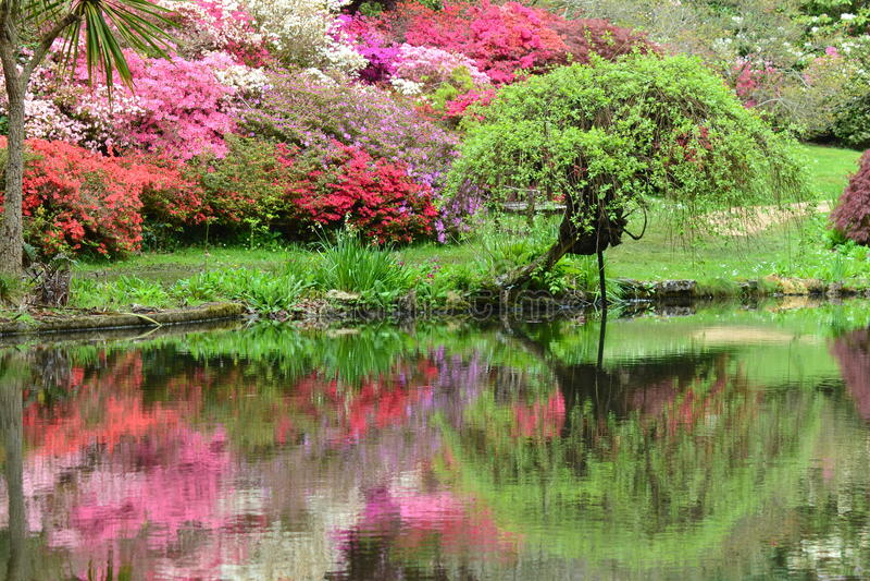 Azalées se reflétant dans l'étang photos stock