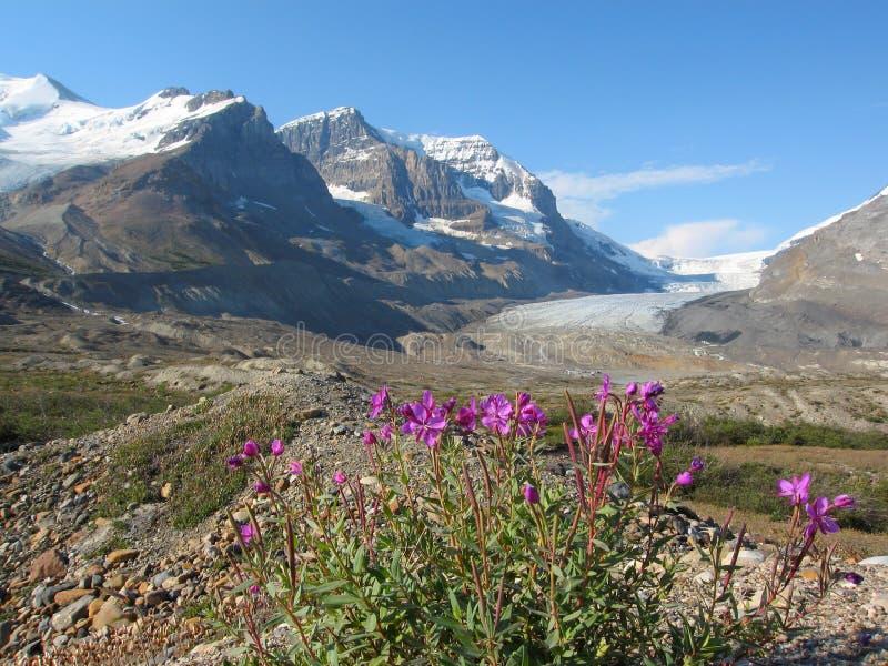 Azaléia na moraine glacial na geleira de Athabasca, Jasper National Park, Alberta fotografia de stock
