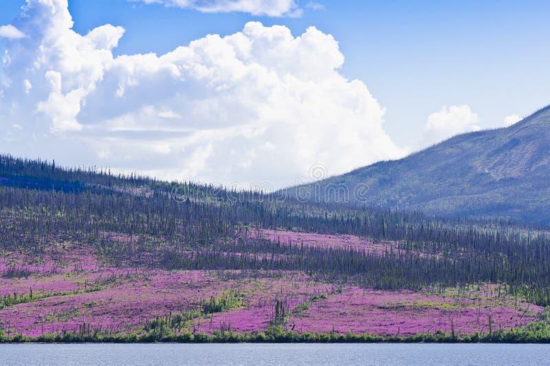 Azaléia que floresce após o incêndio florestal no Yukon imagem de stock