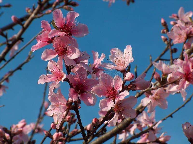 Azalea stock afbeeldingen