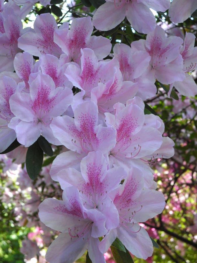 azalea royalty-vrije stock fotografie