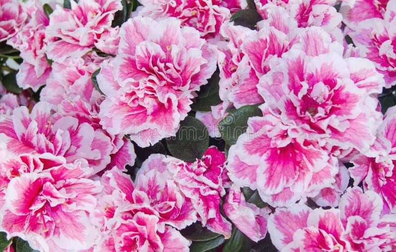 azalea stock fotografie
