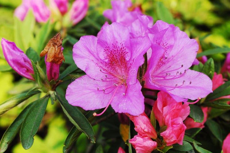 Azalea royalty-vrije stock foto's
