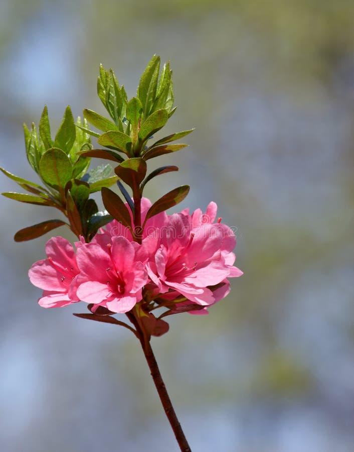 azalea zdjęcie stock