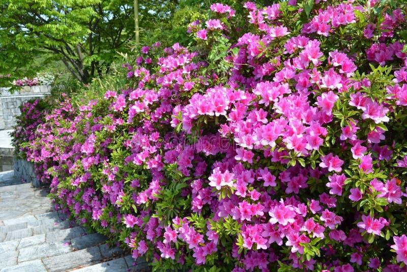azalea royalty-vrije stock afbeeldingen