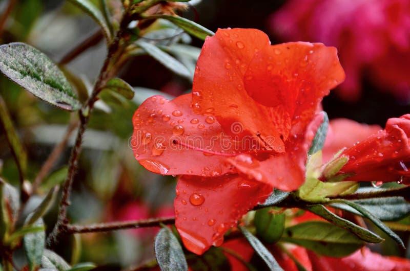 azalea stock foto's