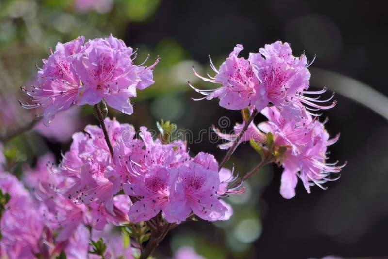 azalea stock foto